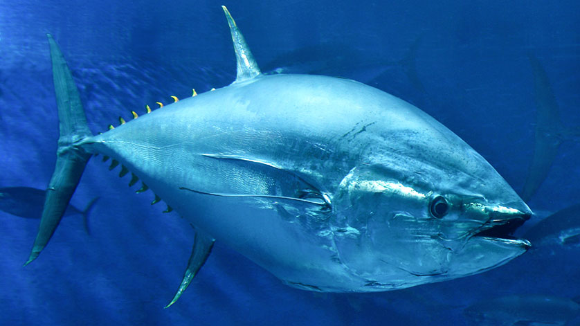 Stanford Researchers Discover Biological Hydraulic System in Tuna Fins